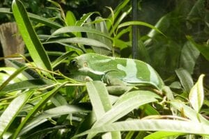 lizard in vivarium