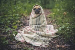 pug dog wrapped in a blanket